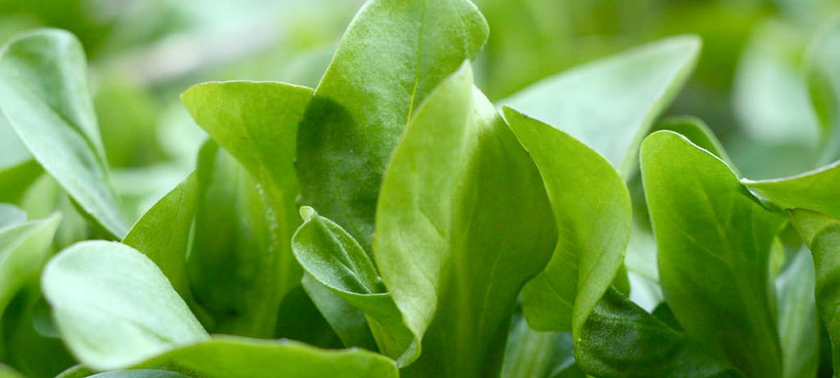 Feldsalat – lecker und vitaminreich