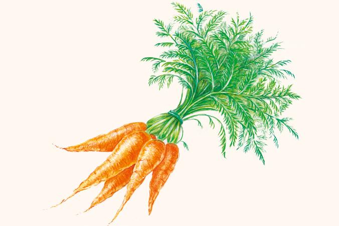 Gartentipps im Februar: Illustration Karotten