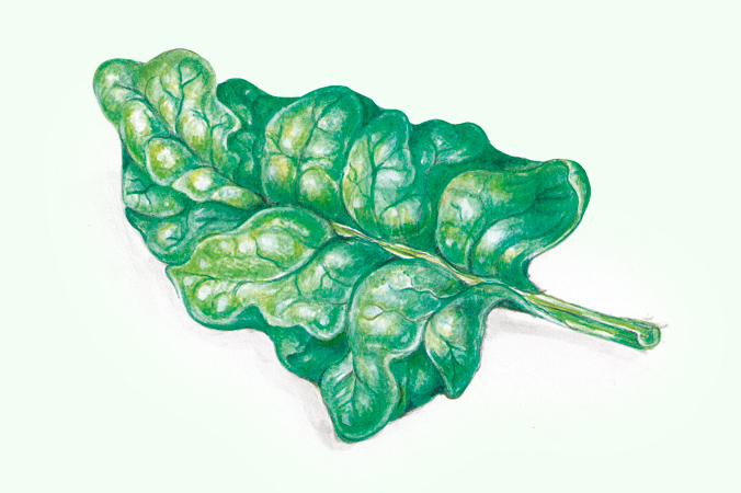 Gartentipps im Februar: Illustration Spinat