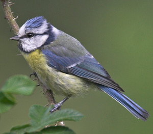 Vogelstimmen: Blumeise auf einem Ast