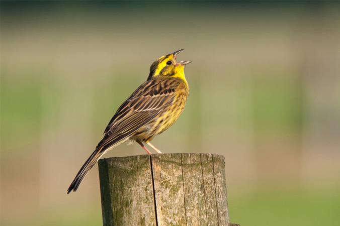 Vogelstimmen: Goldammer