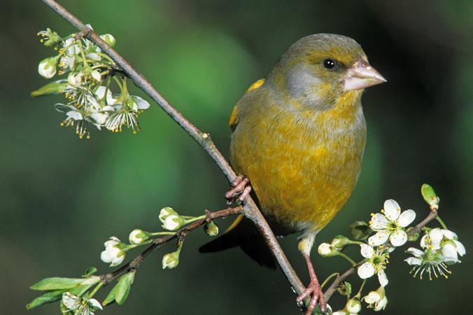 Vogelstimmen: Grünfink