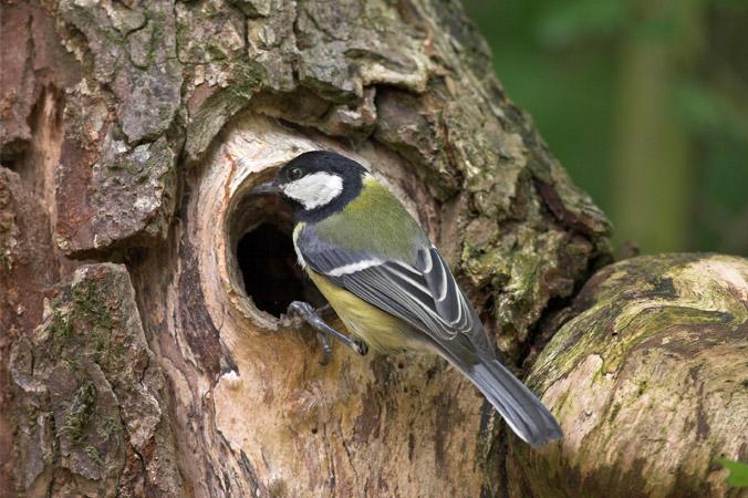 Vogelstimmen: Kohlmeise