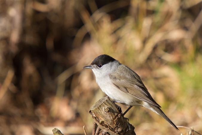 Vogelstimmen: Mönchsgrasmücke