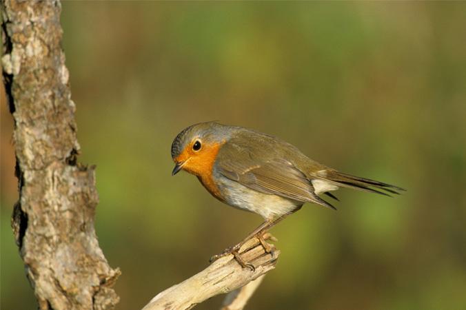 Vogelstimmen: Rotkehlchen
