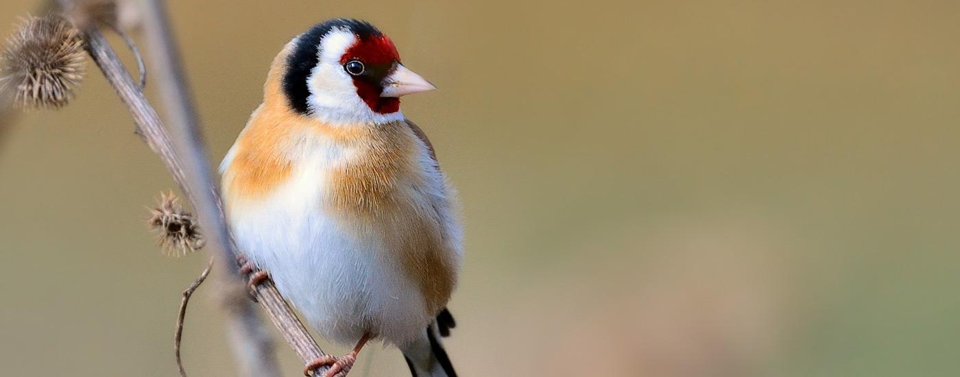 Vogelstimmen: Stieglitz – Vogel des Jahres 2016
