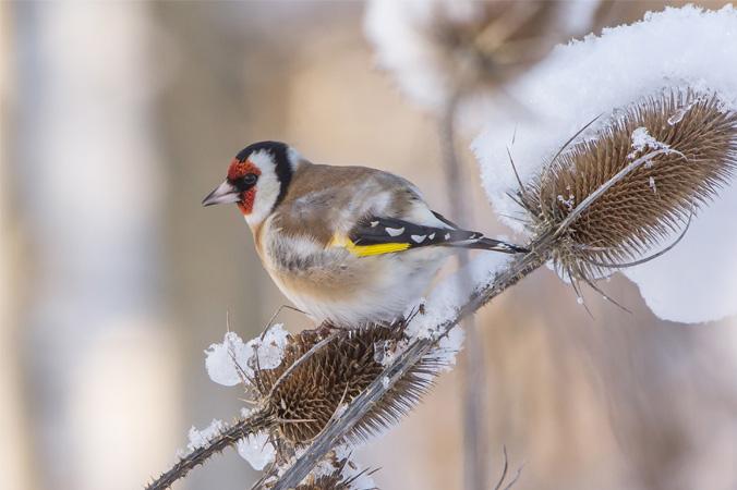 Vogelstimmen: Stieglitz