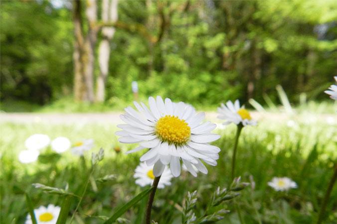 Frühjahrskur mit Gänseblümchen