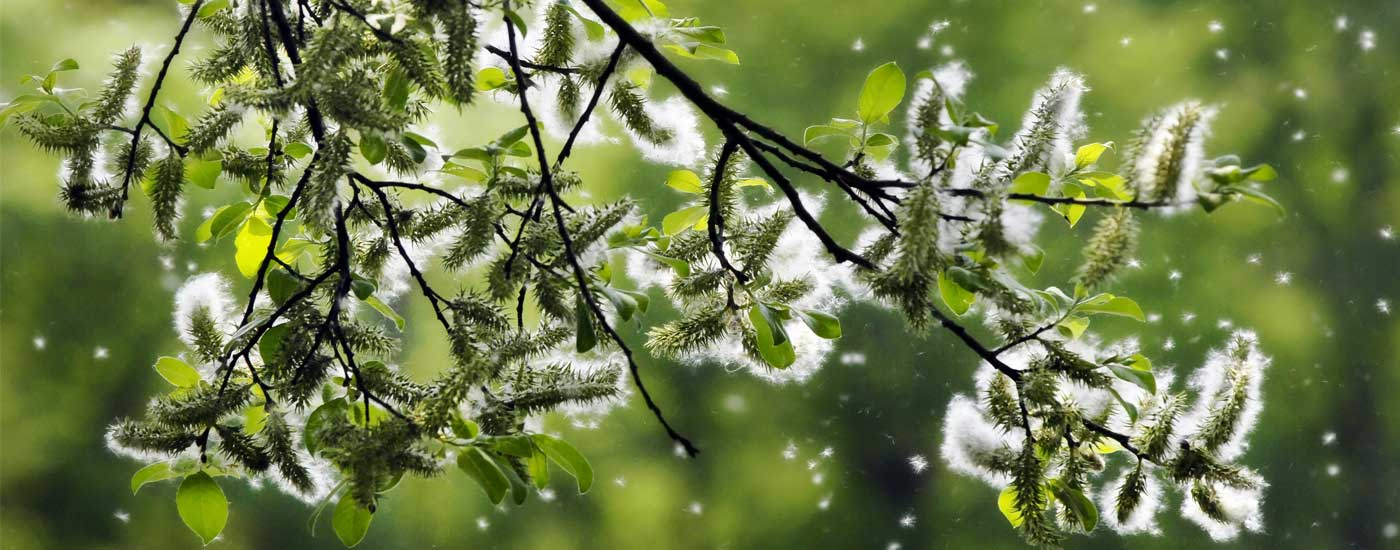 Pollenflug: Ast voller Pollen