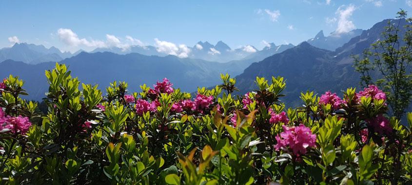Blütezeit: Alpenrosenblüte Fellhorn