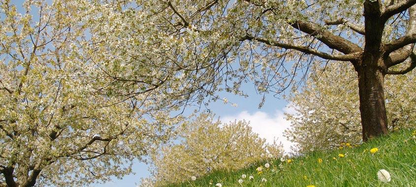 Blütezeit: blühende Kirschbäume in Zug