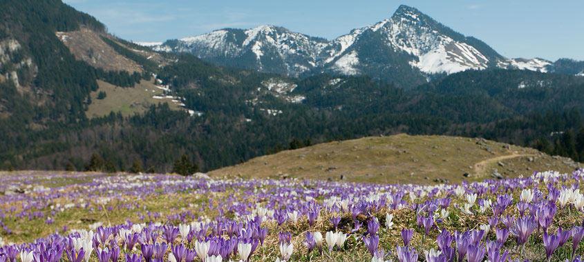 Blütezeit: Krokusblüten am Heuberg
