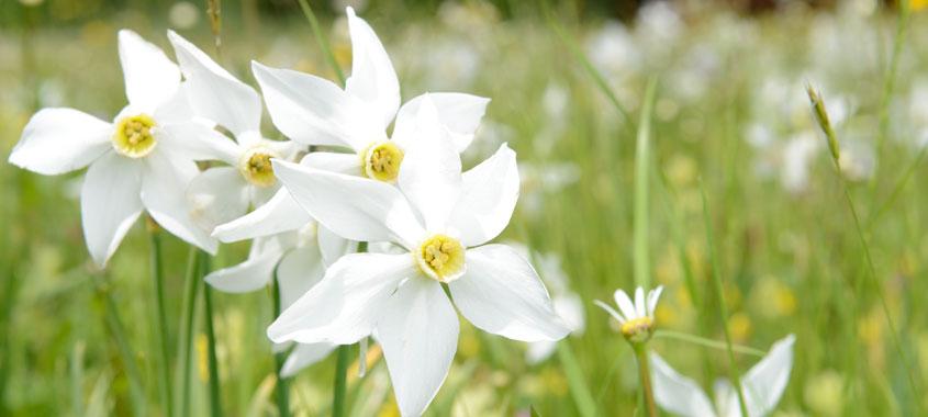 Blühende Narzissen auf einer Wiese