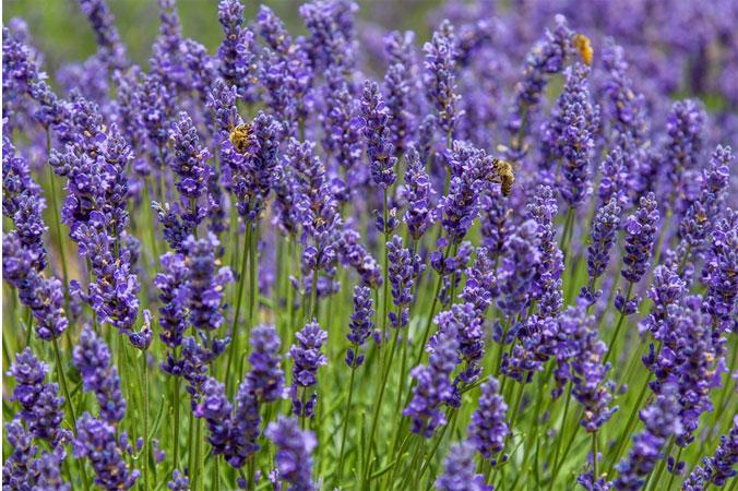Schlafstörungen: Lavendel