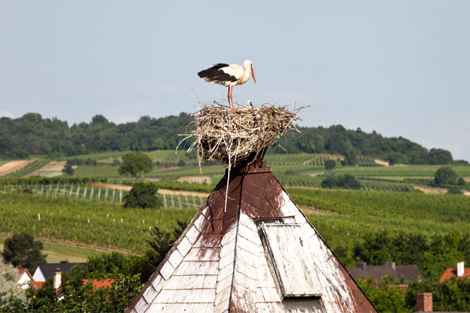 Störche - Storchennest mit Storchennachwuchs
