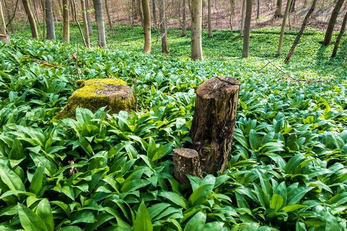 Bärlauch: Bärlauch im Wald