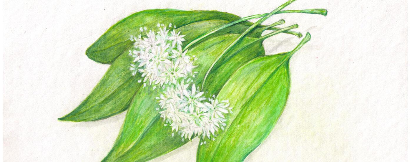Bärlauch: Blätter und Blüten