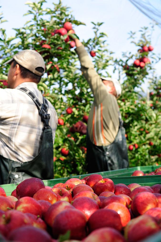 Apfelernte am Bodensee – Zwei Erntehelfer pflücken Äpfel