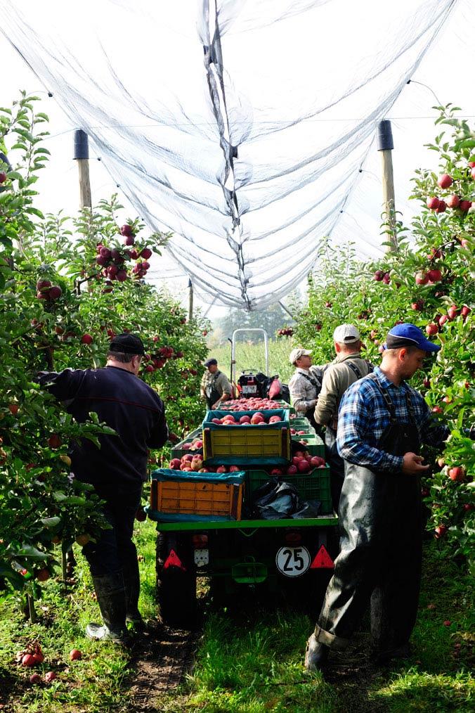 Apfelernte am Bodensee – Fünf Erntehelfer pflücken Äpfel in einer Apfelplantage