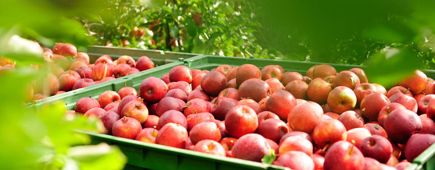 Apfelernte am Bodensee – prallgefüllte Apfelkisten