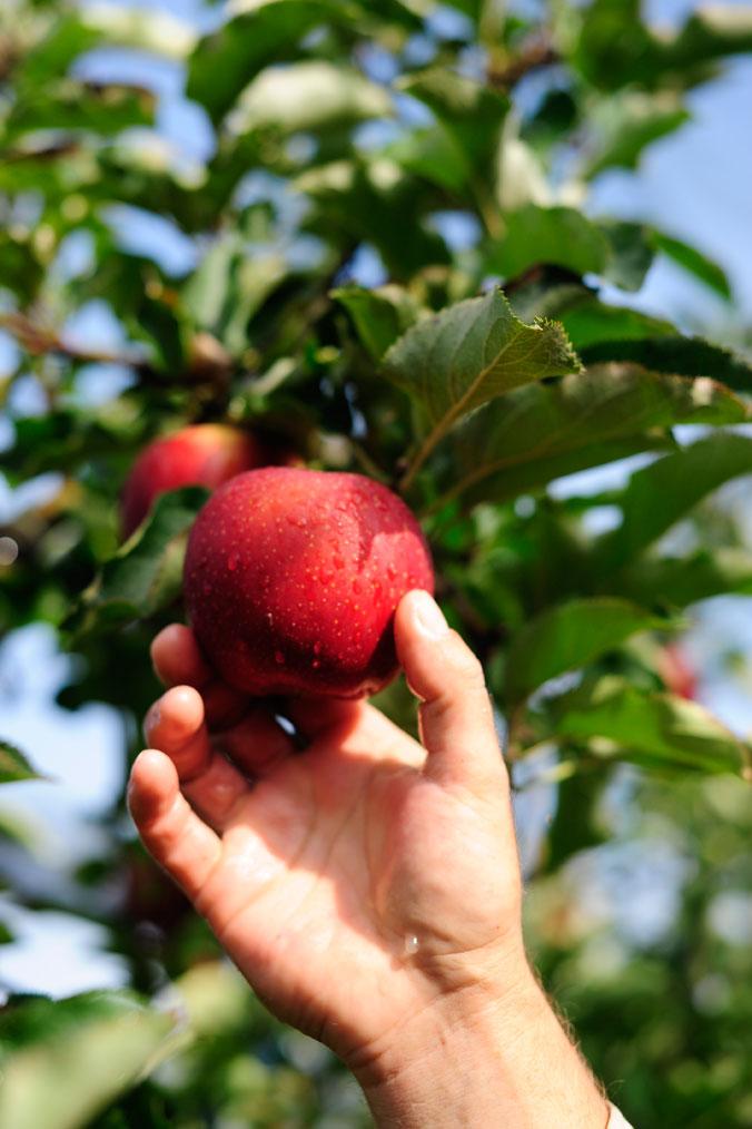 Apfelernte am Bodensee – ein Apfel mit Stiel und Blättern