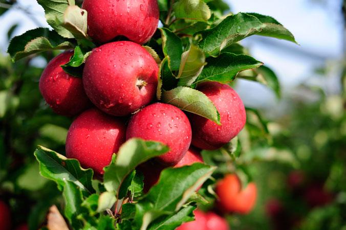 Apfelernte am Bodensee – ein Apfelbaumzweig mit vielen Äpfeln