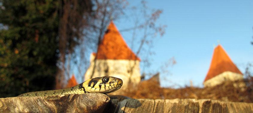 Ringelnatter mit einem Schloss im Hintergrund