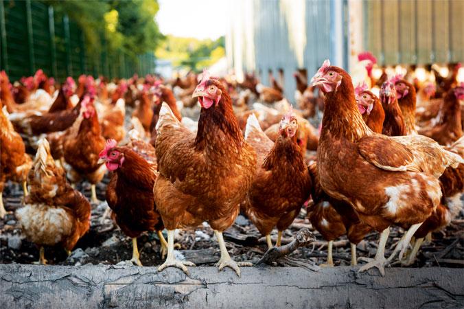 Eine Schar Hühner auf dem Biohof der Hirschvogels