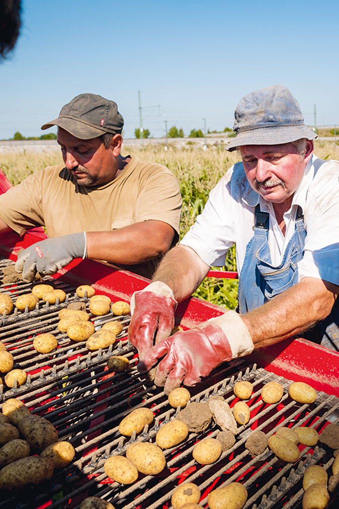 Die Kartoffeln werden geerntet
