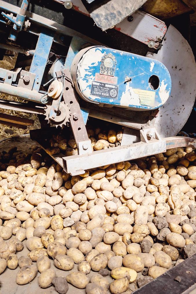 Die Kartoffeln werden in der Halle eingelagert