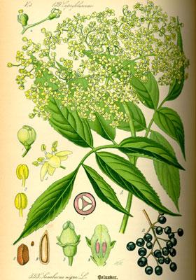 Illustration einer Holunderpflanze mit botanischen Merkmalen