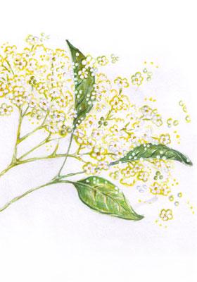 Gezeichnete  Holunderpflanze