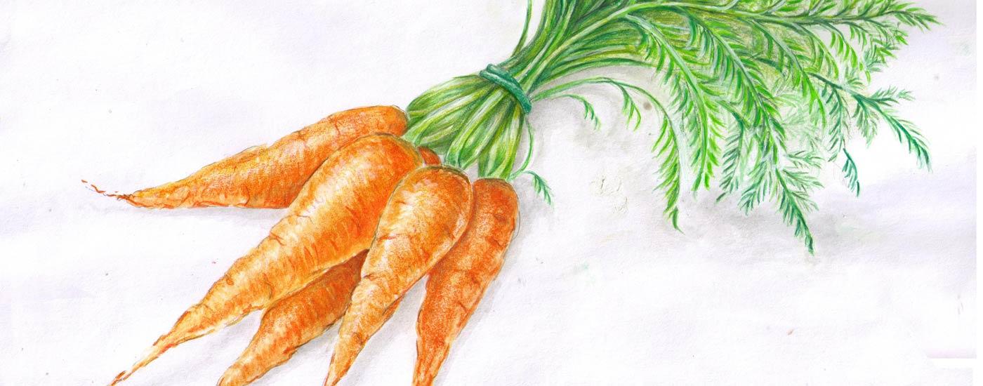 Karotten-Rezepte: Illustrierte Karotten