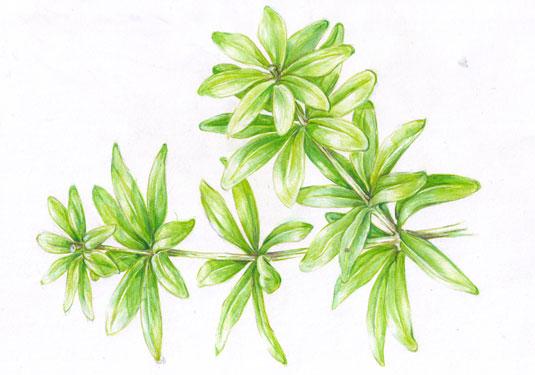 Illustrierte Waldmeisterpflanze
