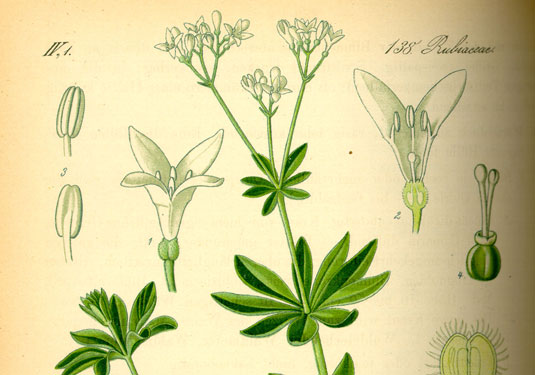 Gezeichnete Waldmeister-Pflanze mit botanischen Merkmalen