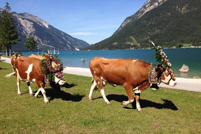Almabtrieb Achensee – Geschmückte Kühe vor dem Achensee mit Bergpanorama