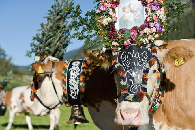 Almabtrieb in Mayrhofen im Zillertal – Geschmückte Kühe