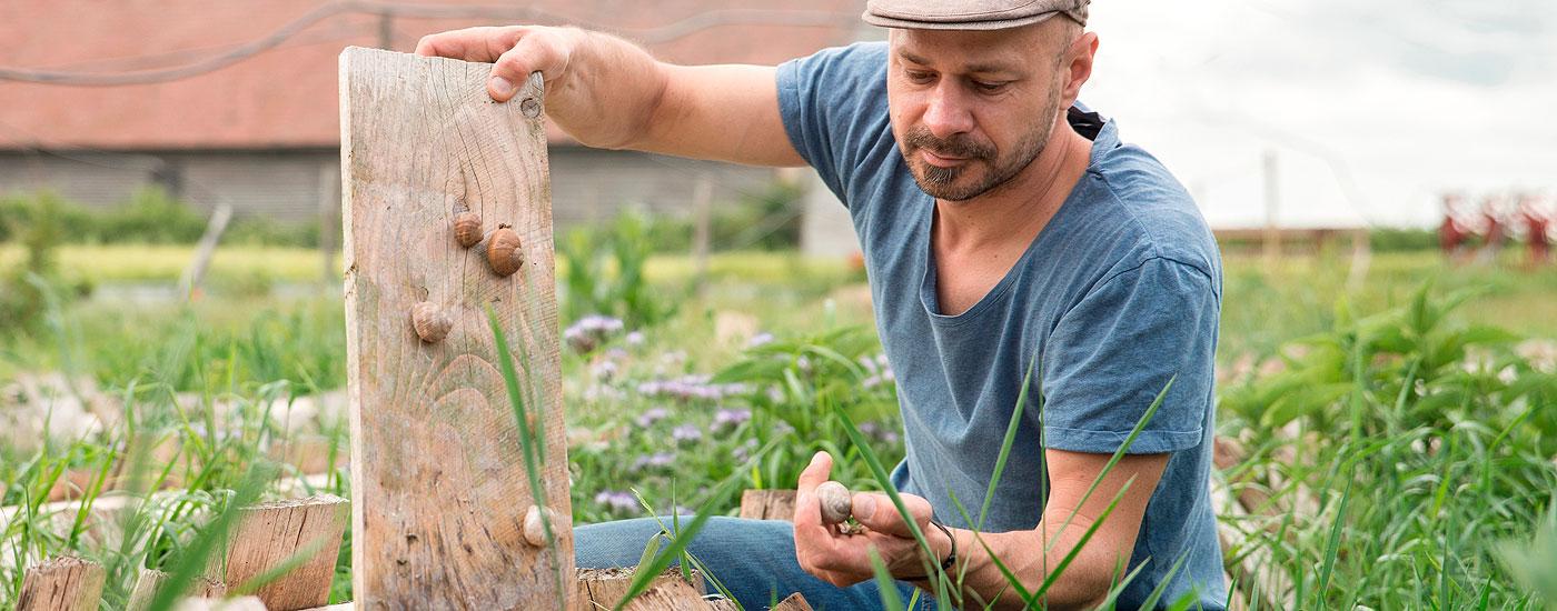 Schneckenzüchter Andreas Gugumuck hält prüfend einige Schnecken in der Hand
